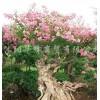 供应古桩紫薇、黄杨、榆树、枸杞、五针松等