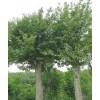 大规格国槐,茶条槭,蒙古栎,合欢,等绿化苗木