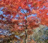 白牛槭 ()