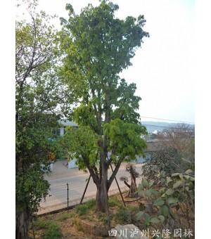 四川黄葛树,大黄葛树,泸州黄葛树,黄葛树苗圃