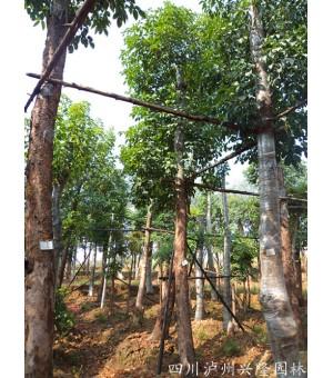 供应重阳木,泸州三叶树,三叶树价格,重阳木景观树