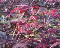 三季红红枫 (4)