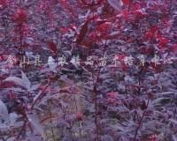 常年红红枫 (4)