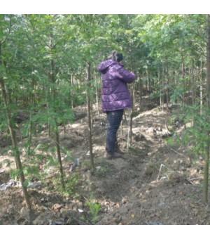 浙江 供应1-10年生红豆杉,北美红杉