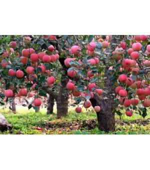 3--15公分苹果树  柿子树   桃树