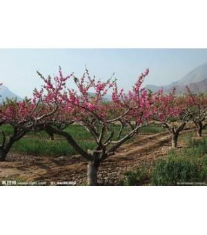 桃树 山桃树