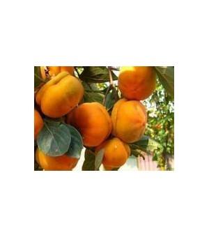 柿子苗 柿子树