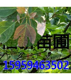 檫树苗 檫木苗 檫树种子
