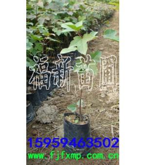 枫香树苗 枫香种子 枫香苗 枫树