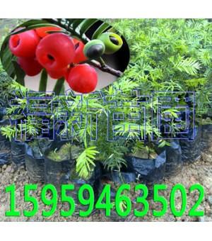 红豆杉苗 南方红豆杉苗 红豆杉种子 红豆杉苗木批发