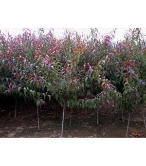 红叶碧桃苗,红叶碧桃哪里有,3-8碧桃树,碧桃苗批发
