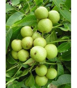核桃苗,3-6公分核桃树,核桃树清地价,核桃苗哪里有