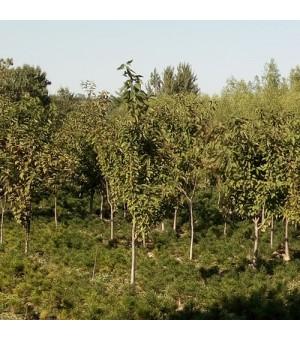 樱桃苗6公分樱桃树,樱桃树苗,钙果苗,山楂树,核桃树,紫叶李