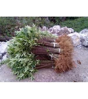 花椒苗,大红袍花椒苗,花椒苗批发,哪里有花椒苗