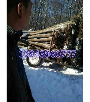 供应五角枫  蒙古栎   白桦   水曲柳