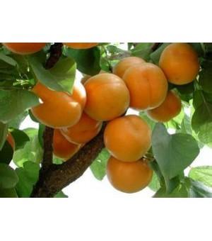 杏树苗供应,杏树苗批发,杏树苗品种,杏树苗价格