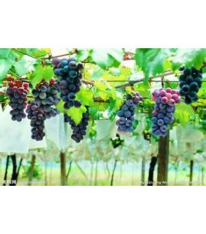 临沂葡萄苗供应,夏黑葡萄,金手指,金田玉指葡萄等