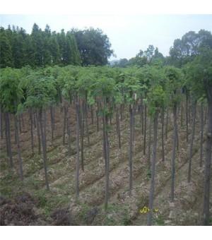 基地大量供应绿化工程苗 优质合欢树 合欢小苗 庭院植物花卉