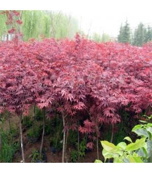 基地批发日本红枫树苗 美国红枫小苗 园林绿化苗木 乔木