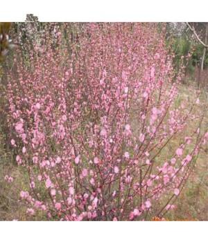 红梅花 梅花苗 乌梅 红梅桩 树桩盆景 包成活促销