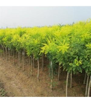 金枝槐树苗 嫁接黄金槐树苗 供应胸径2-15厘米金枝槐