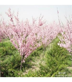 批发供应美人梅 梅花新品种美人梅 规格齐全 美人梅树形美