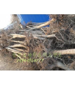 供应五角枫  蒙古栎   槺椴  紫椴  暴马丁香   白桦