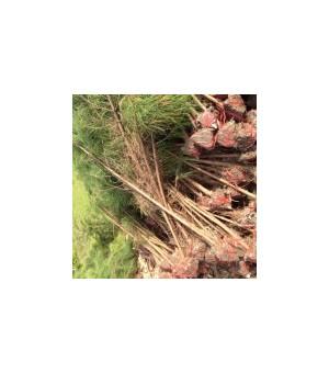 贵州供湿地松,广西湿地松。杉苗,江西桤木,安徽木荷,枫香基地