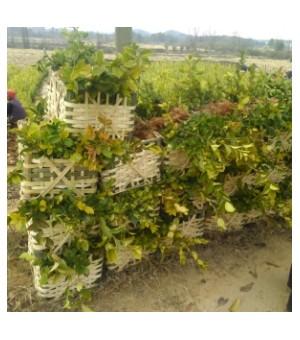 福建油茶树苗,油茶种植效益,良种油茶苗,油茶树