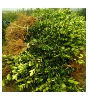 新品种油茶树苗的价格,农林科学院油茶苗,高产油茶树