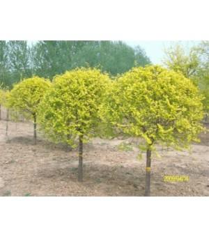 河北地区彩色绿化苗木出售