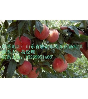 临沭桃树苗供应
