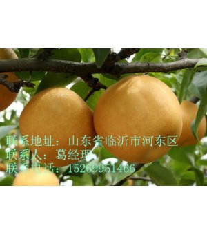临沂梨树苗,晚秋黄梨苗,秋月梨,爱宕梨苗等梨树苗供应
