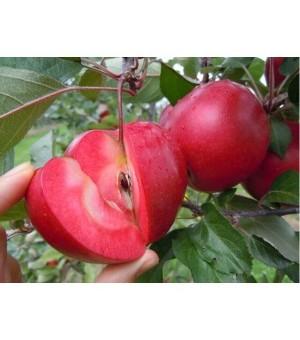 山西供应1公分苹果苗 1公分苹果苗价格