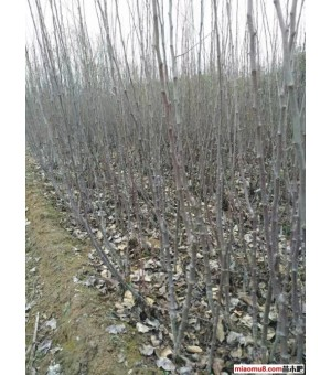 山西供应杨树苗 杨树苗 优质杨树苗 便宜杨树苗
