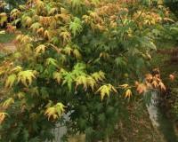 鸡爪槭1 (0)