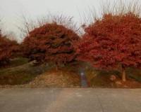 鸡爪槭3 (0)