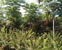 鸡爪槭6 (0)