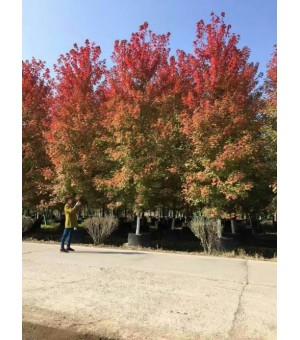 常年供应1~4公分鸡爪槭