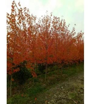 常年供应1~4公分鸡爪槭。