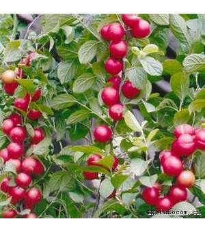 供应钙果苗(欧梨苗) 农大1-6号钙果苗 山西钙果苗基地
