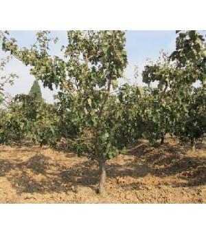 3-15公分苹果树、3-15公分山楂树、3-15公分梨树