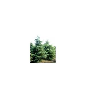 苗木专业户-南京泉江苗圃场常年低价销售雪松广玉兰红叶石楠蜀桧