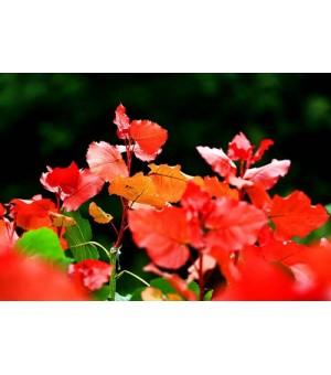 绿化小苗冠红杨
