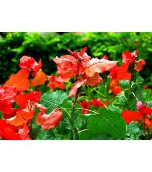 独家供应冠红杨各种规格树苗