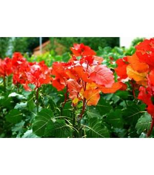 冠红杨专业绿化树种