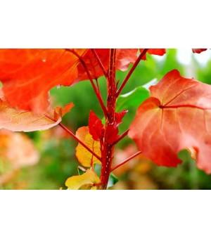 冠红杨绿化彩叶新树种
