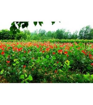 乡村绿化最佳树种-冠红杨
