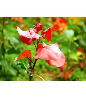 行道绿化新树种冠红杨