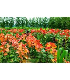 园林绿化最佳树种-冠红杨